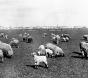 Schafe auf dem Tempelhofer Feld – Geschichte und Geschichten